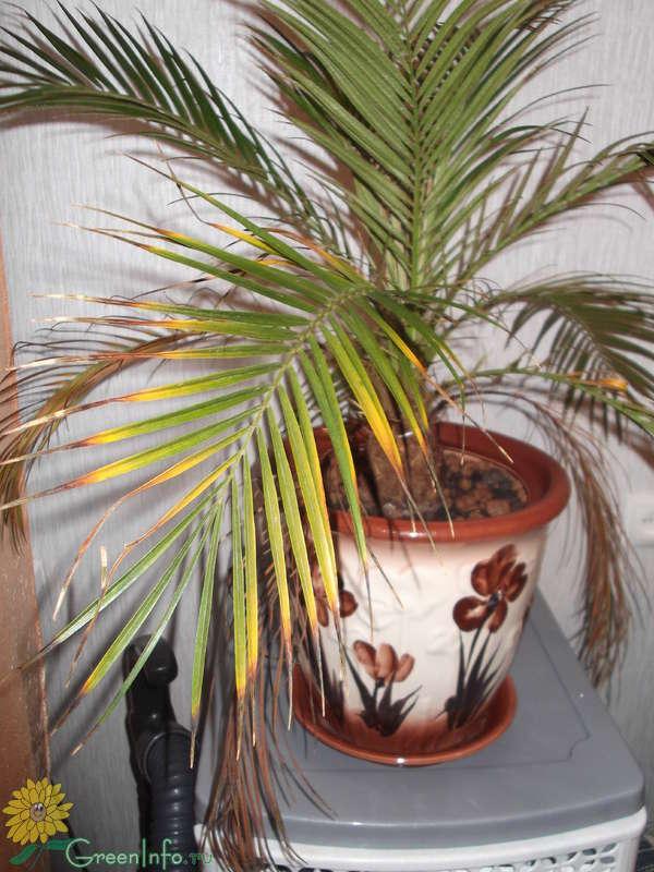 Пальма домашняя сохнут листья уход в домашних условиях 754