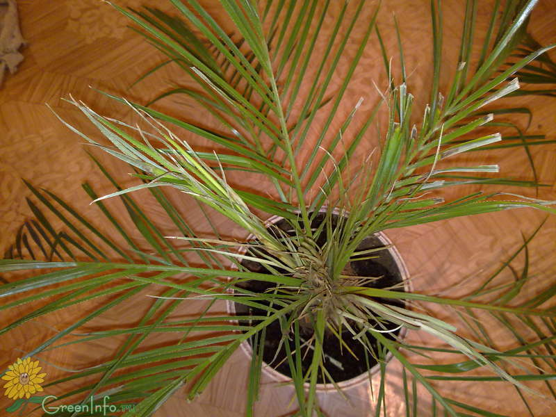 Пальма домашняя сохнут листья уход в домашних условиях 401