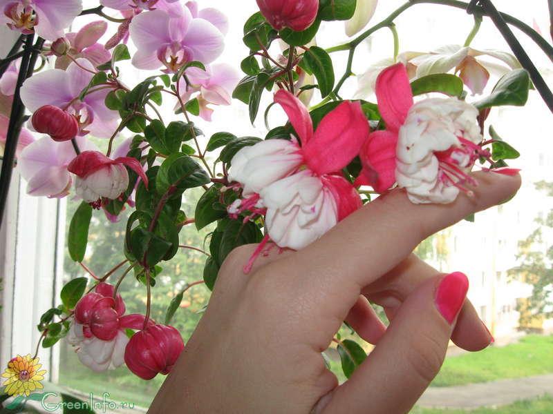 Цветок фуксия и уход за ним
