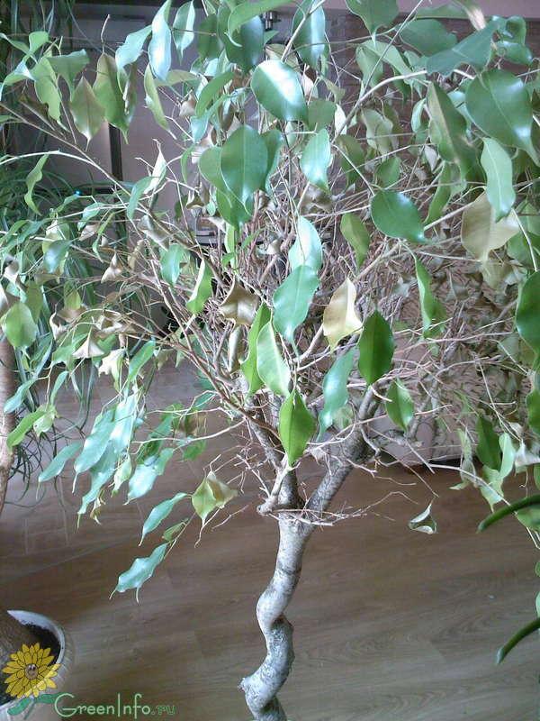 Почему фикус зимой скидывает листья