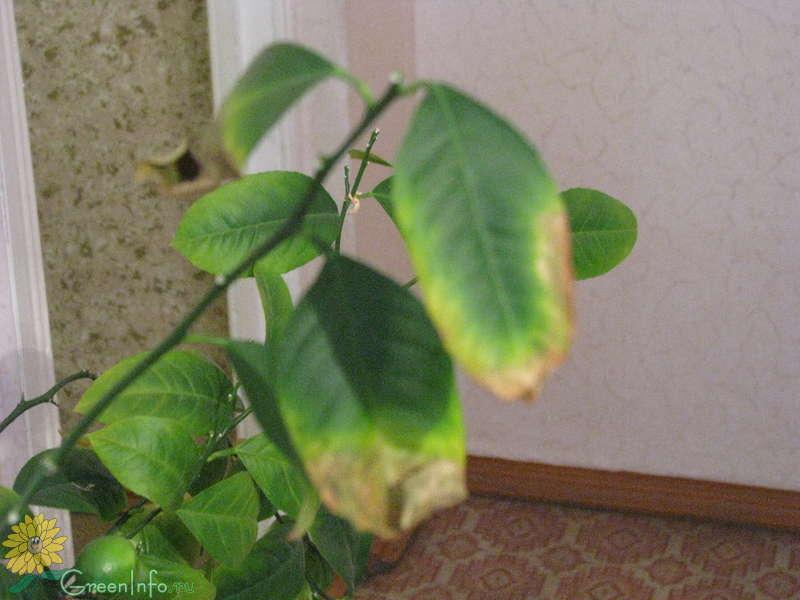 Болезни мандарина в домашних условиях