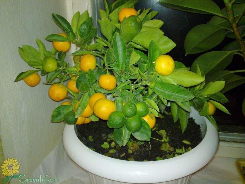 Как ухаживать за домашним мандарином в горшке в домашних условиях
