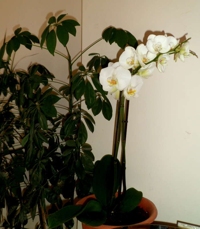 как обрезать цветоносы орхидеи фото