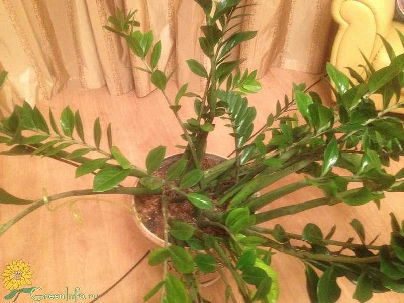 Желтеют листья у замиокулькаса после пересадки что делать