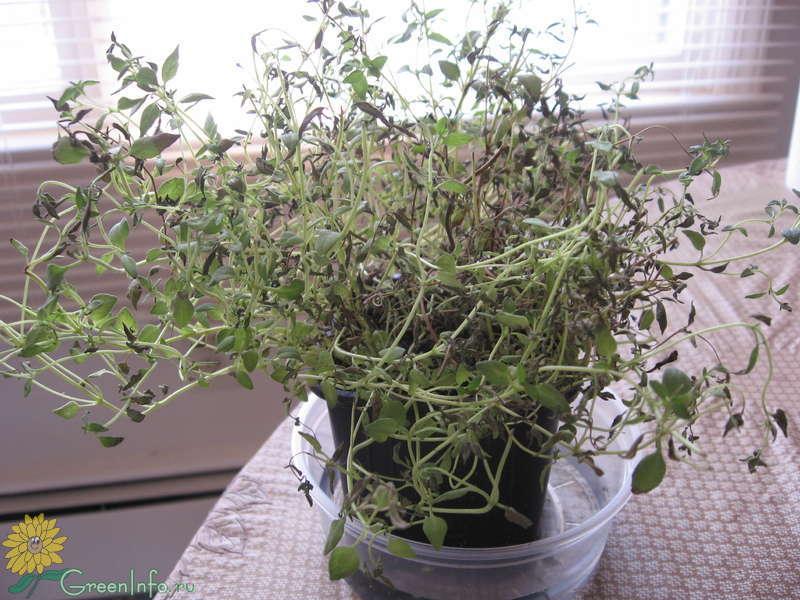 Чабер огородный выращивание из семян когда сажать 76