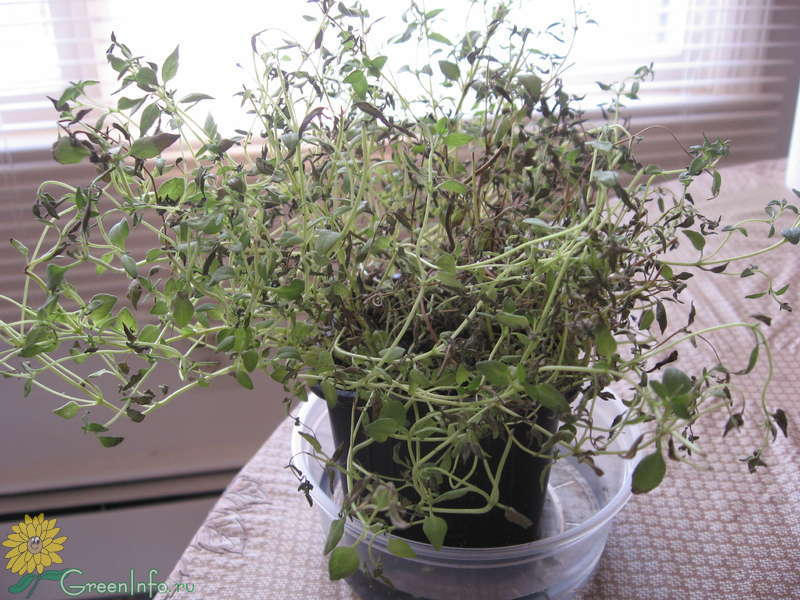 Картинки: Выращивание редиса на даче - как правильно сеять и (Картинки) в Омске