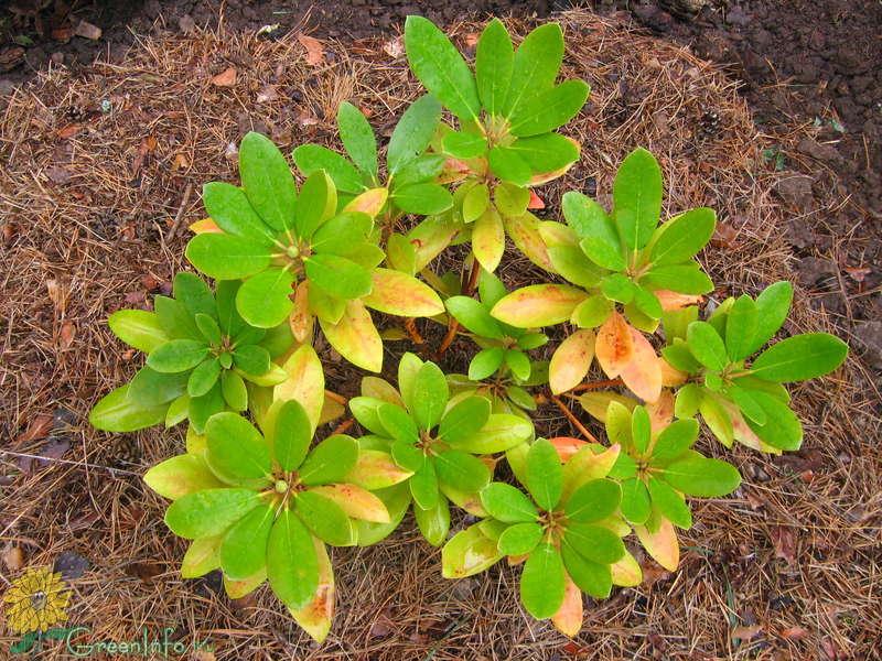 Желто красные листья рододендрона