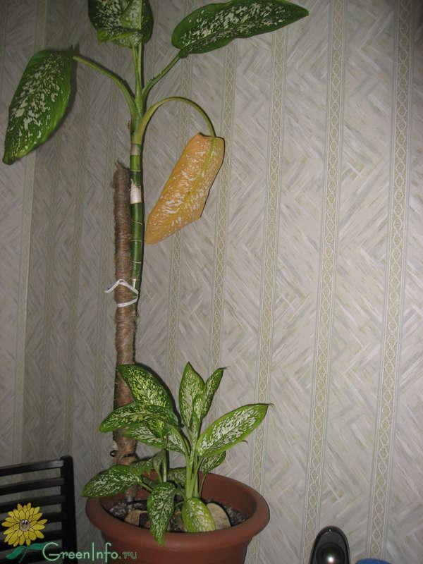 Почему у диффенбахии кончики листьев желтеют