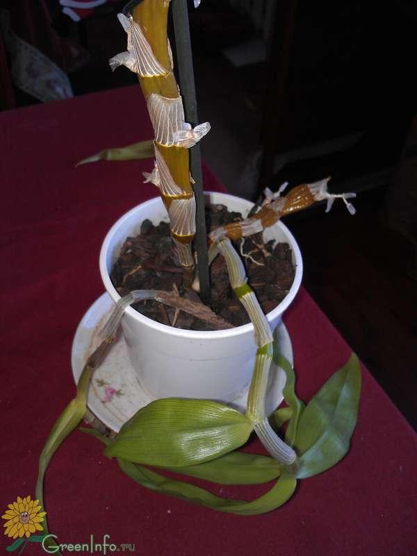 Орхидея на огороде