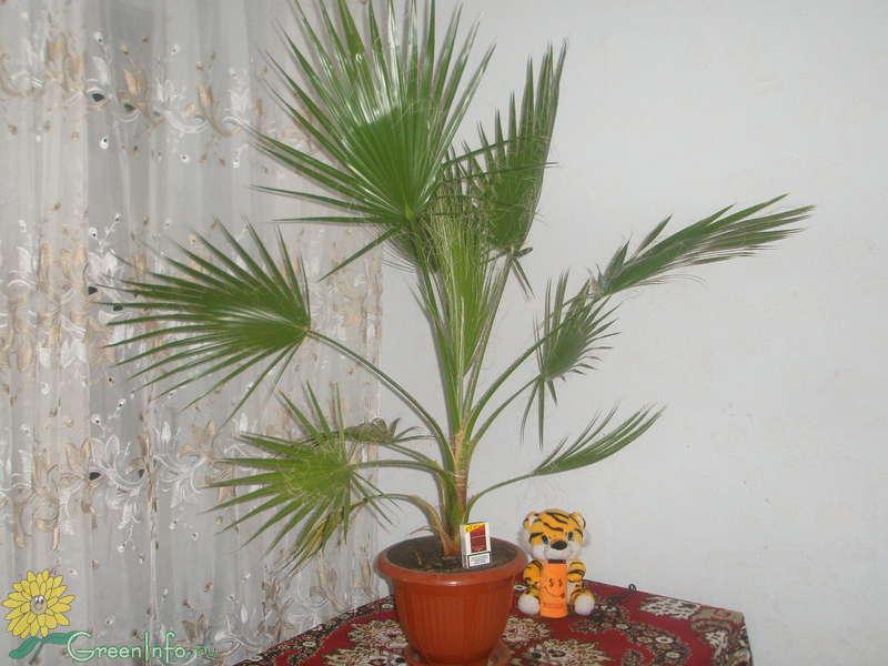 как посадить из семян пальму в домашних условиях видео