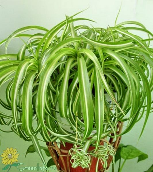 Комнатные цветы хлорофитум фото