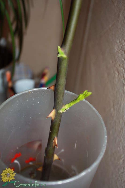 Как вырастить розу в домашних условиях из картошки