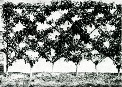 Шпалерная изгородь