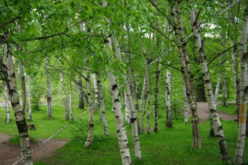 Деревья картинки дуб