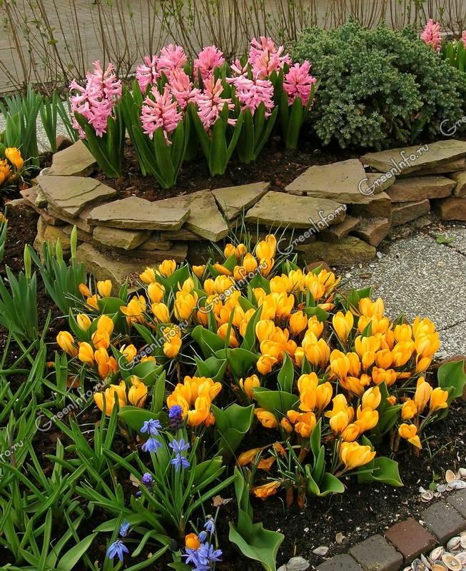 Крокус выращивание и уход в саду 94