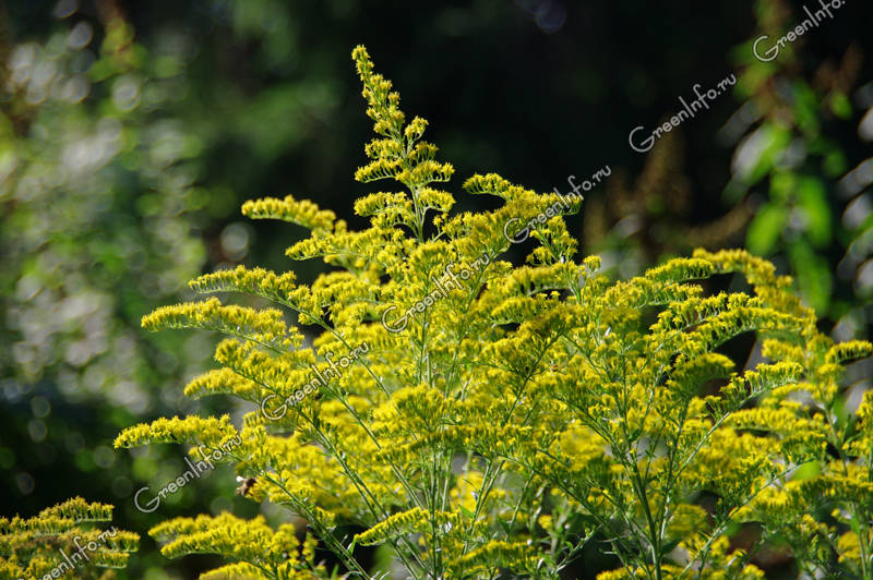 растение золотарник