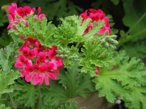 Пеларгония розовая Red-Flowered Rose