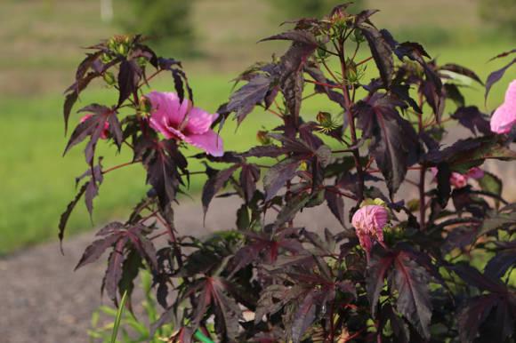 Гибискус краснолистный выращивание и уход 26