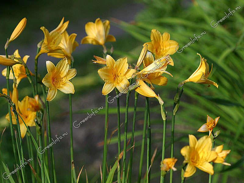 лилейник желтый