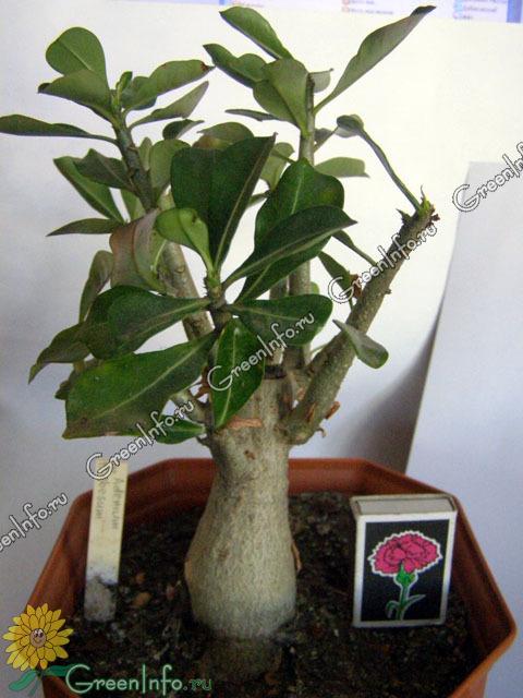 Adenium Obesum  Адениум Обесум  Адениум дома от семян