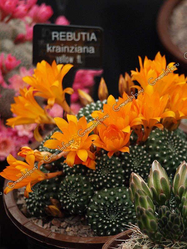 Переския  уход в домашних условиях основные виды кактуса