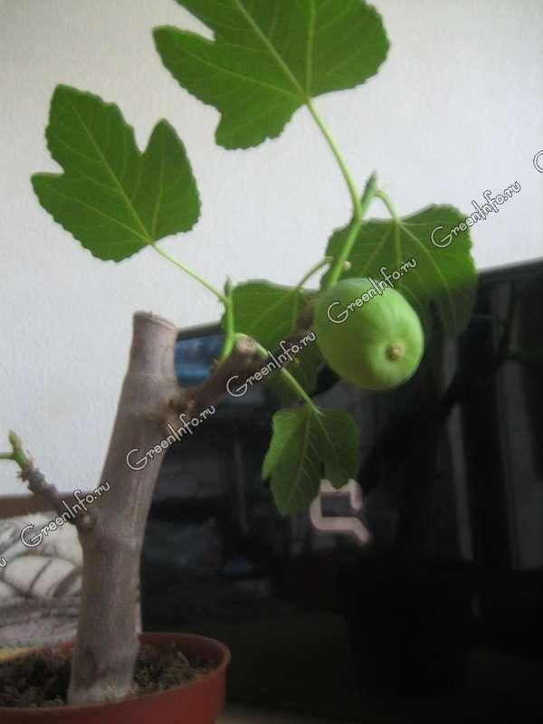 инжир из семян