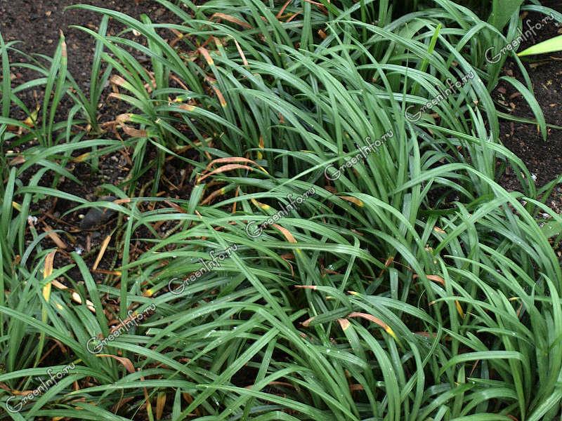 Офиопогон ябуран variegatus в грунте