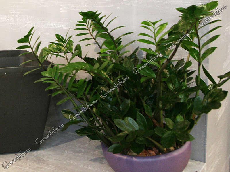 домашние цветы  замиокулькас