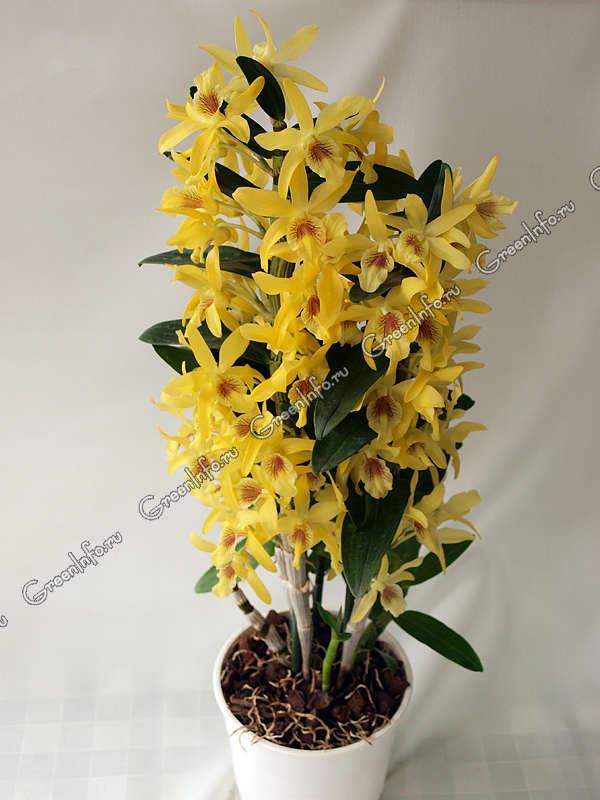 Орхидея уход пересадка размножение г.Москва