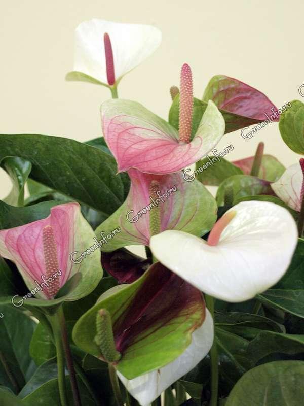 Цветок антуриум красный или мужское счастье можно ли
