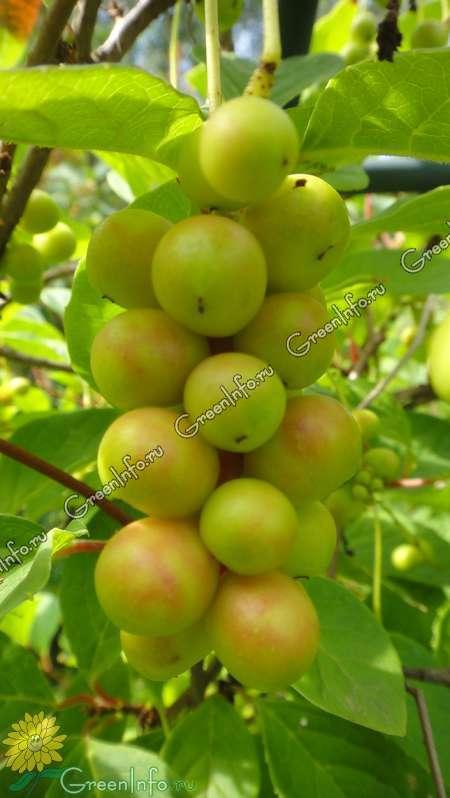 виды лимонника