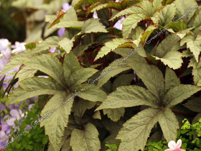 Begonia serratipetala фото рита бриллиантова