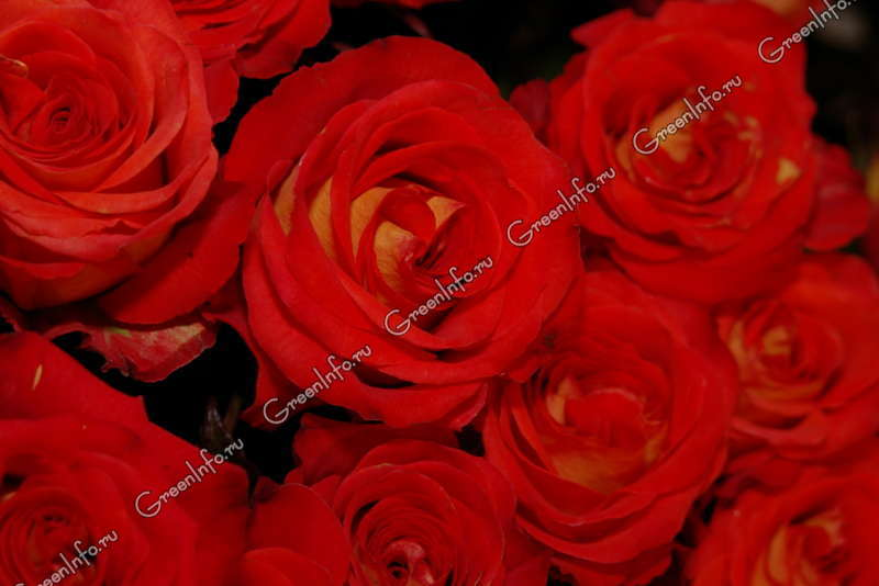 Бриллиантова роза