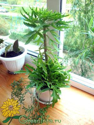 Kalanchoe laciniata фото с форума greeninfo ru