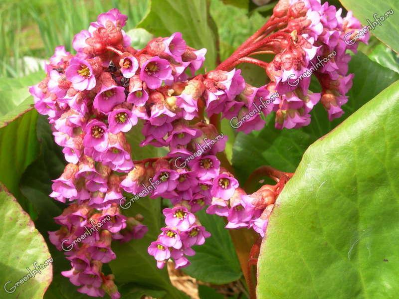 цветок бадан фото: