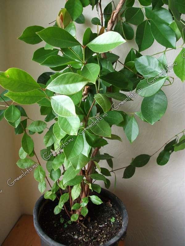Гуава Кеттли - Гуава - Комнатные плодовые растения ...: http://www.greeninfo.ru/indoor_plants/psidium_cattleianum.html