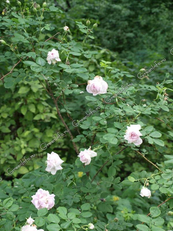 Роза столистная фото максим минин