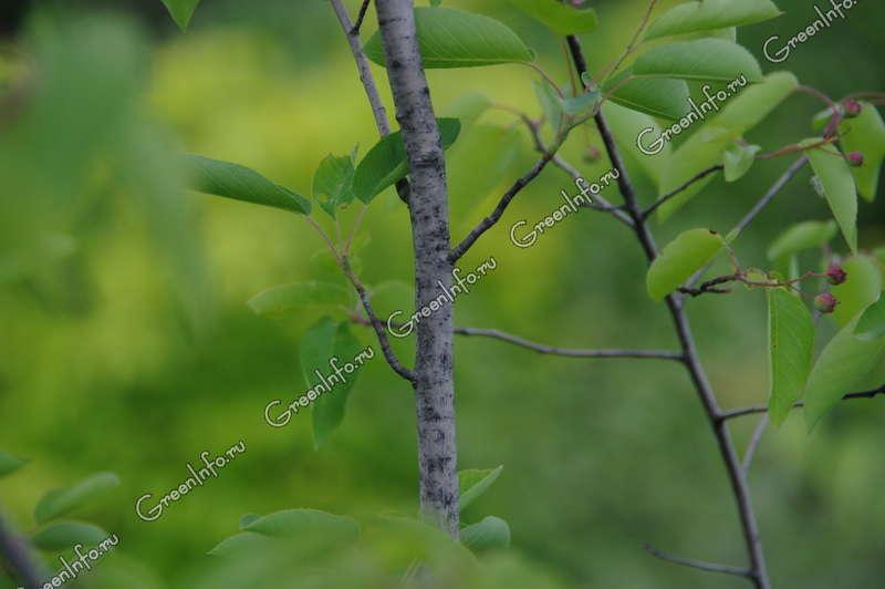фото дерево ирга