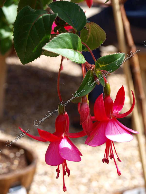 Фото комнатные цветы фуксия уход и размножение