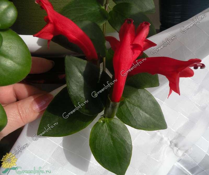 Комнатные цветы эсхинантус фото выращивание уход размножение 434
