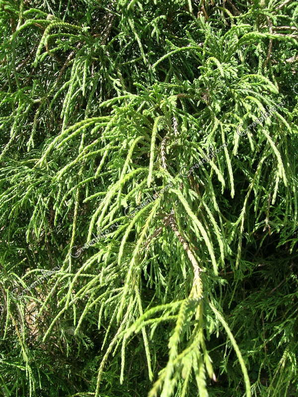 Кипарисовик горохоплодный filifera nana