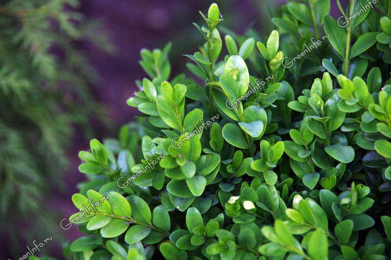 Самшит вечнозеленый фото александр