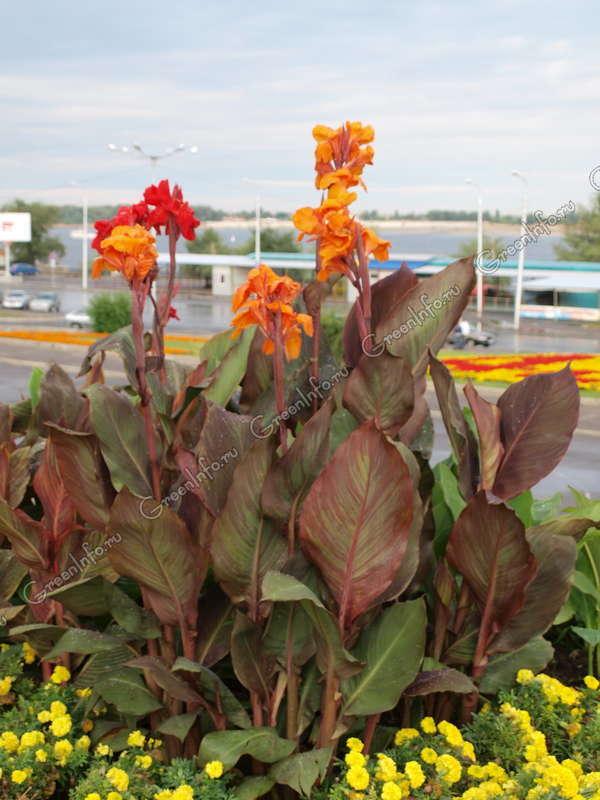 цветы канны: flowerf.ru/index.php/1957-cveti-kanni-foto