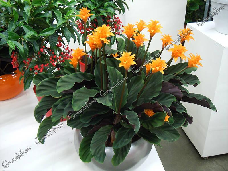 цветы калатея