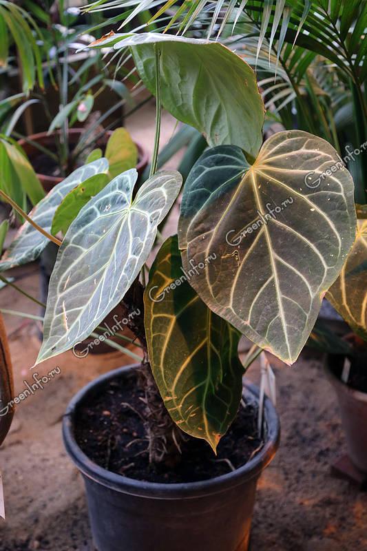 Anthurium clarinervium фото рита бриллиантова