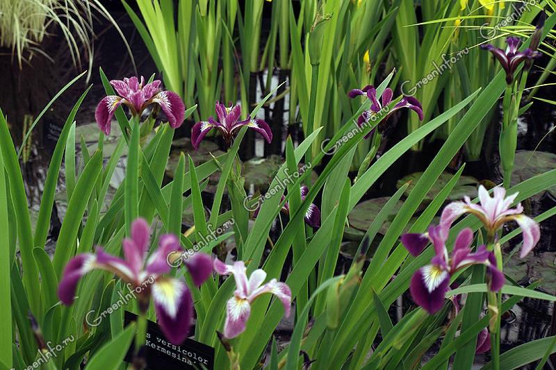 растение ирис