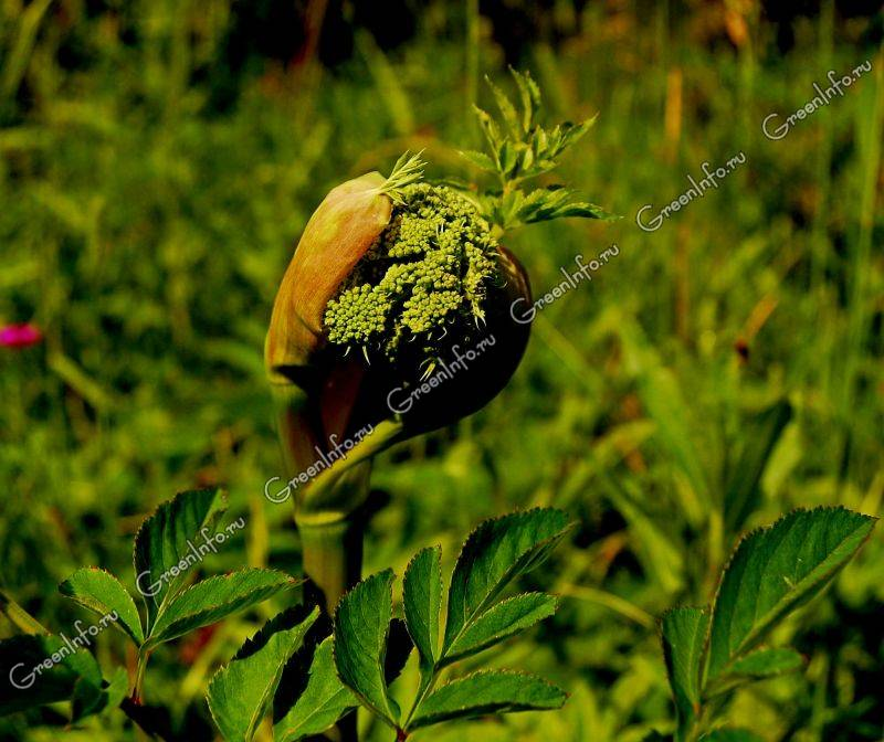 дягиль фото трава