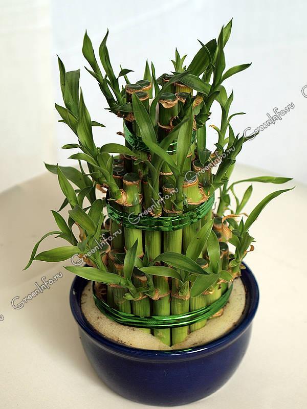 Декоративнолистные растения  Комнатные растения и цветы