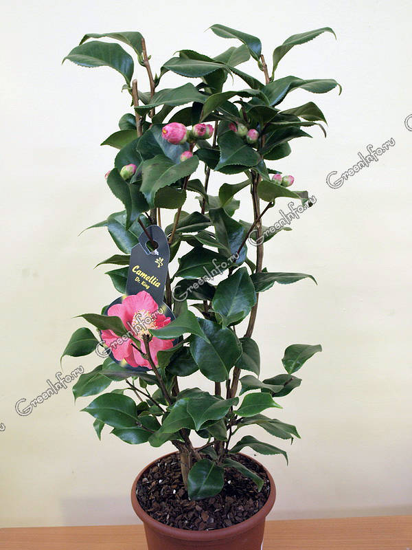 комнатные растения камелия