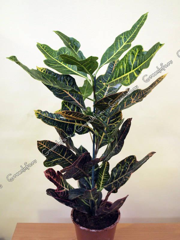 Кротон Codiaeum  уход и проблемы выращивания размножение